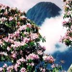 hoa đỗ quyên ở fanxipang