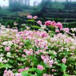 du lịch theo dấu những mùa hoa
