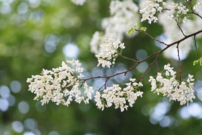 Du lịch ba miền theo dấu những mùa hoa