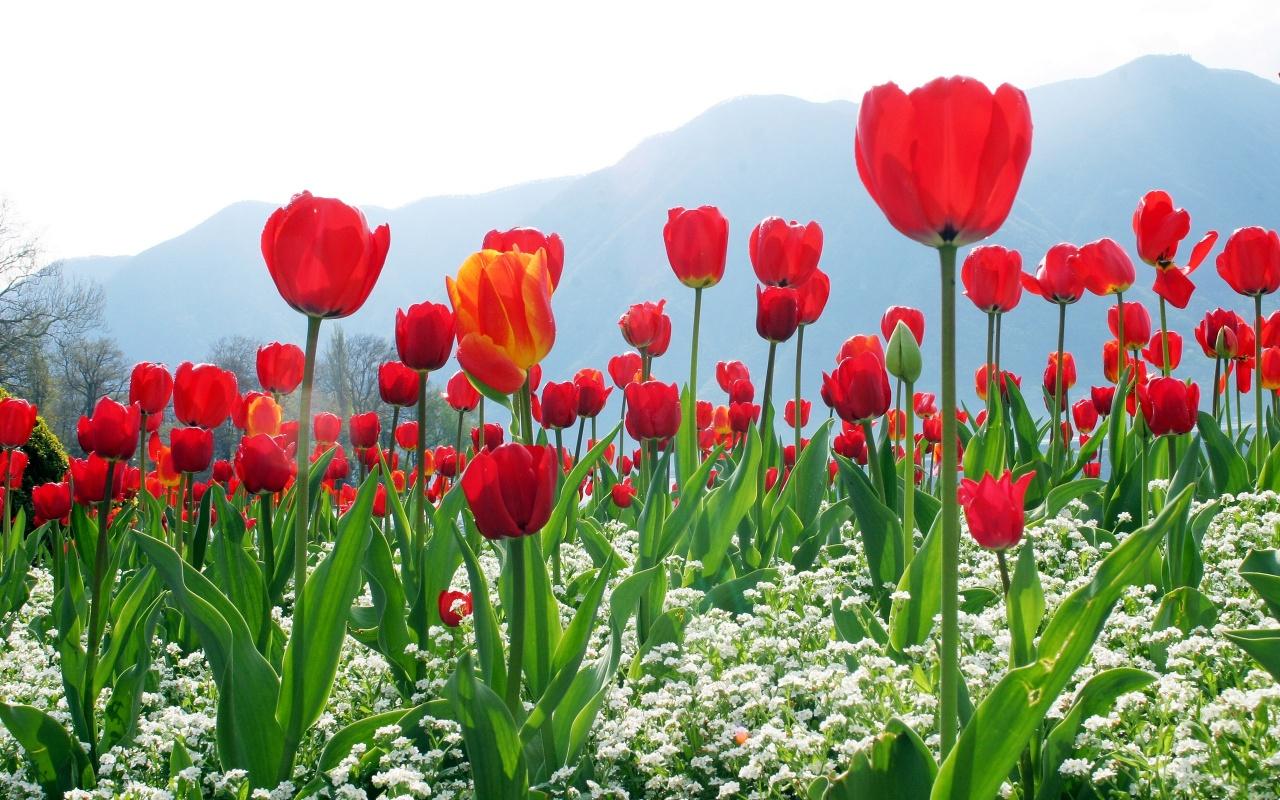 hoa tuplip sapa