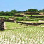 Ruộng bậc thang ẩn chứa tiềm năng du Lý Sơn